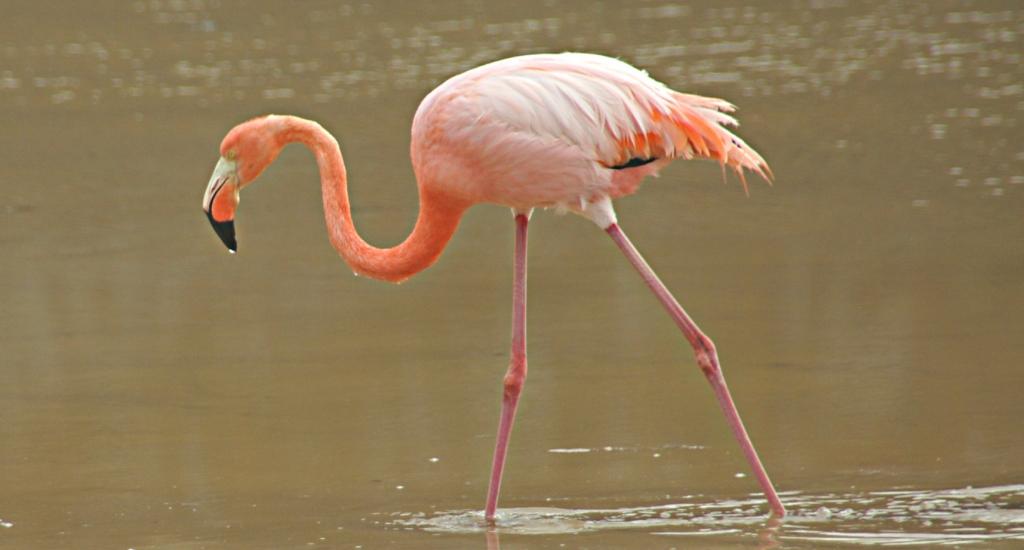 flamingo-freeimagesq