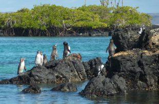 galapagos-penguin-1664625_1920
